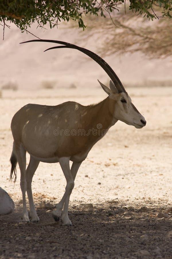 Oryx on desert. Wild Scimitar Oryx, Oryx dammah, desert royalty free stock image