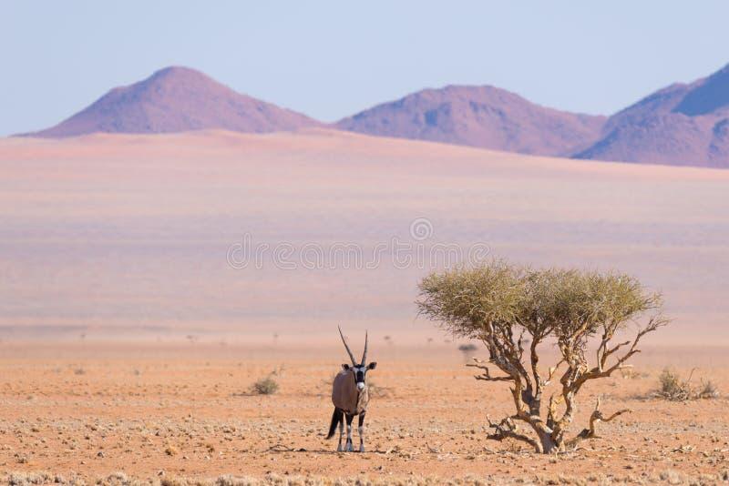 Oryx die onder schaduw van Acaciaboom rusten in de kleurrijke Namib-woestijn van het majestueuze Nationale Park van Namib Naukluf royalty-vrije stock afbeelding