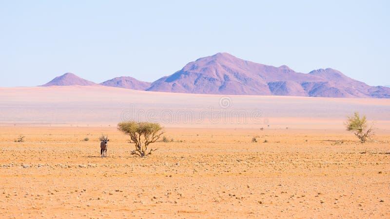 Oryx die onder schaduw van Acaciaboom rusten in de kleurrijke Namib-woestijn van het majestueuze Nationale Park van Namib Naukluf stock afbeelding