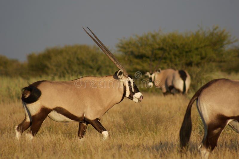Oryx die zijn neus schoonmaakt royalty-vrije stock foto