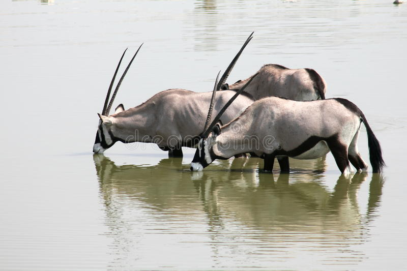 Oryx Drinking. The Gemsbok {Oryx Gazella} The Gemsbok is a large antelope of striking appearance with long, spearlike horns. Taken at a waterhole in Etosha stock photography