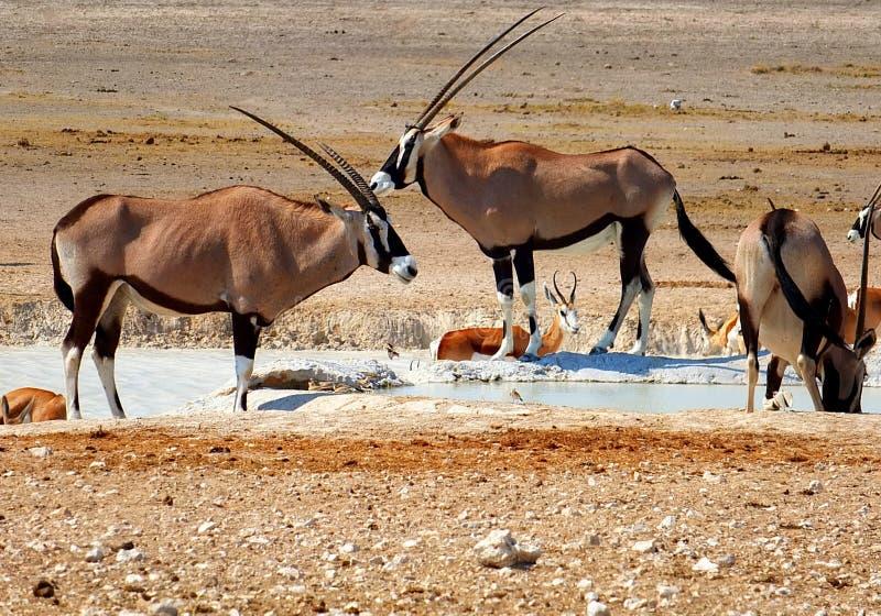 Oryx e impala foto de stock