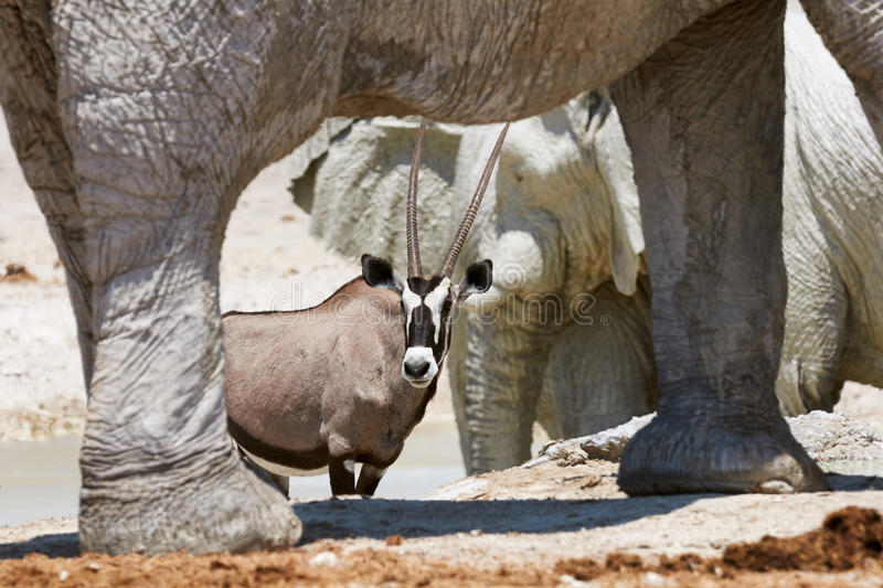 Oryx and elephant. Oryx photographed between the legs of an elephant stock image