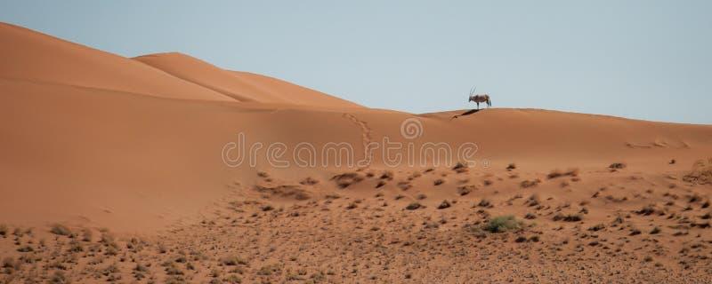 Oryx en las dunas de arena del parque nacional de Sossusvlei, Namibia foto de archivo libre de regalías