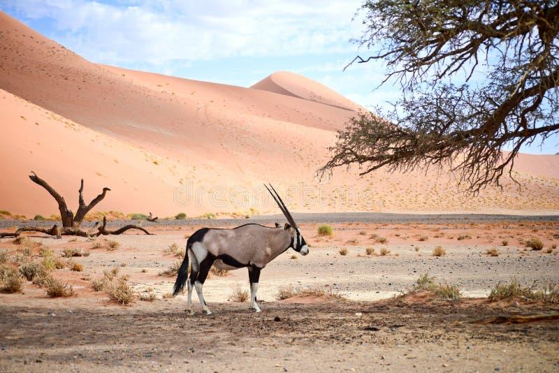 Oryx en Namibia fotografía de archivo