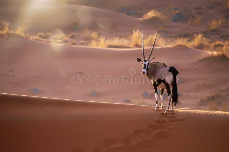 Oryx en Namibia fotos de archivo libres de regalías