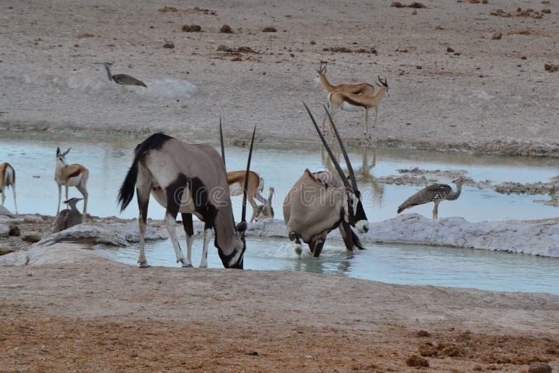 Oryx en parc d'Etosha, Namibie images libres de droits