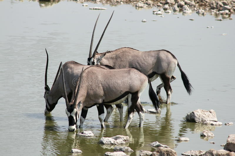 Oryx in Etosha. The Gemsbok {Oryx Gazella} The Gemsbok is a large antelope of striking appearance with long, spearlike horns. Taken at a waterhole in Etosha stock image