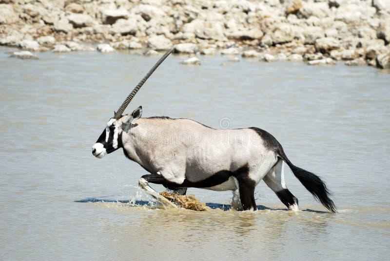 Oryx in the Etosha National Park, Namibia royalty free stock photo
