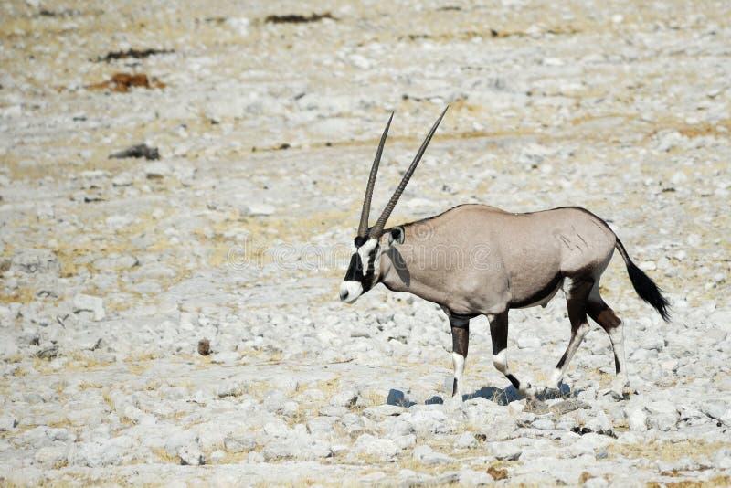 Oryx in the Etosha National Park, Namibia royalty free stock image