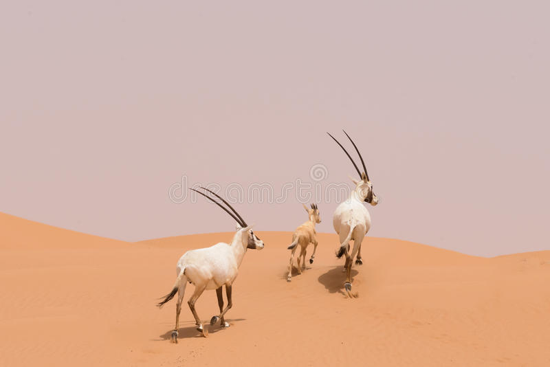 Oryx family in the dunes of the Dubai Desert Conservation Reserve, UAE stock photography