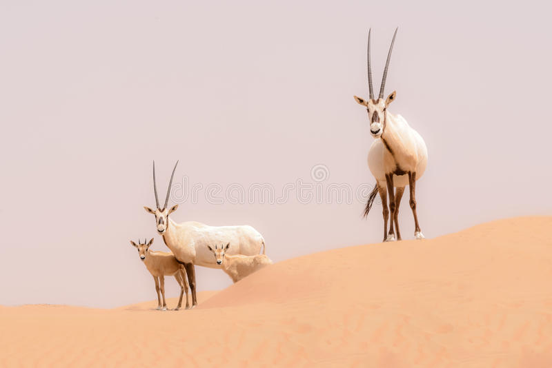 Oryx family in the dunes of the Dubai Desert Conservation Reserve, UAE royalty free stock photo