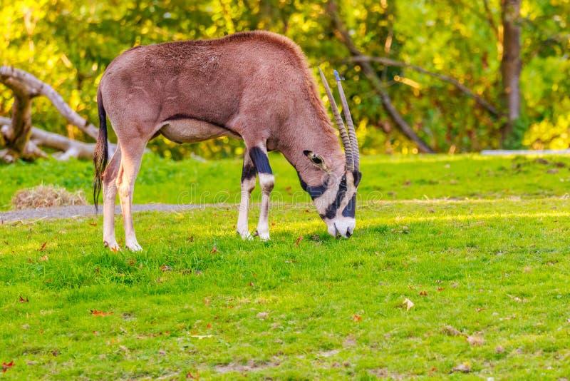 Oryx Franja-espigado fotografía de archivo