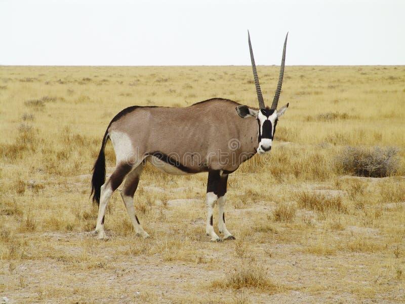 Oryx gazella royalty free stock image