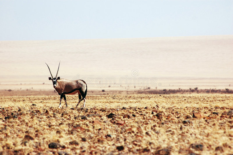 Oryx gazella stock photos