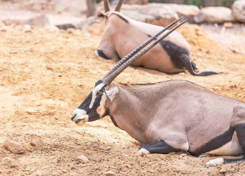 Oryx gazella antylopy Gemsbok zdjęcia stock