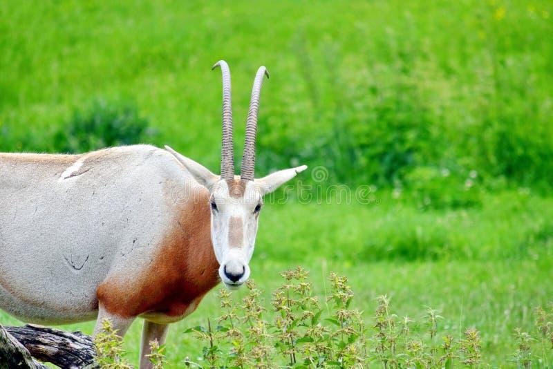 Oryx Gazella portret w naturze obraz stock