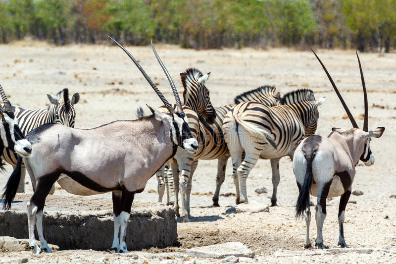 Oryx gazella and zebra in etosha. Gemsbok, Oryx gazella, dominant Gemsbok antelope in the park and zebra on waterhole, Etosha, Namibia royalty free stock image