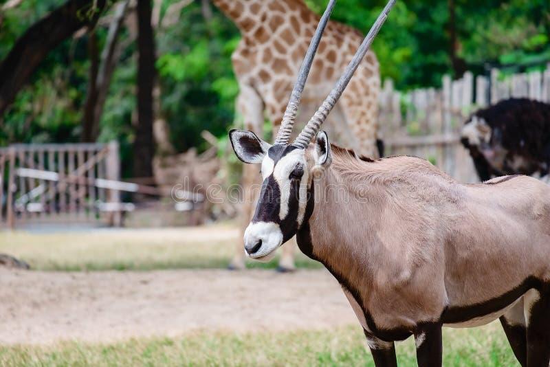 Oryx/Gemsbok στεμένος στον πράσινο τομέα στοκ φωτογραφία