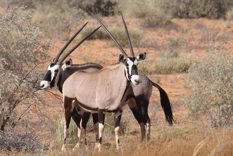 oryx gemsbok стоковые фото