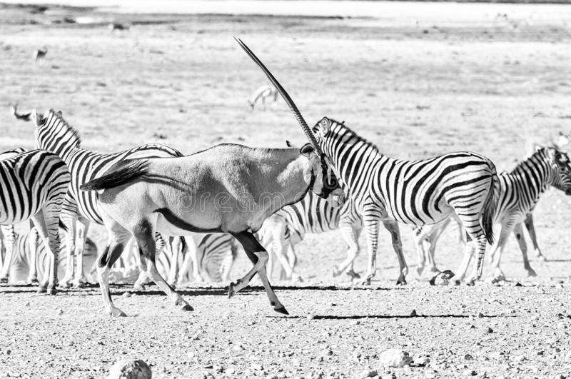 An oryx or gemsbok, running past Burchells zebras. Monochrome. An oryx, Oryx gazella, also called a gemsbok, running past Burchells zebras in Northern Namibia stock photo
