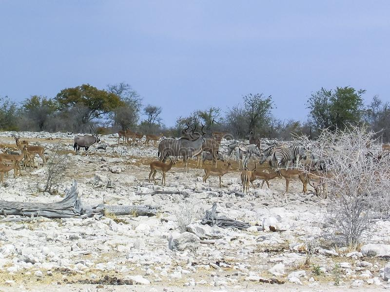 Oryx or gemsbok, a zebra, and a wildebeest or gnu in the desolate landscape of Etosha National Park, Namibia. The wild African. The park has large waterholes royalty free stock image