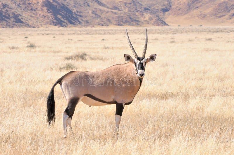 Oryx in graslandschap stock afbeeldingen