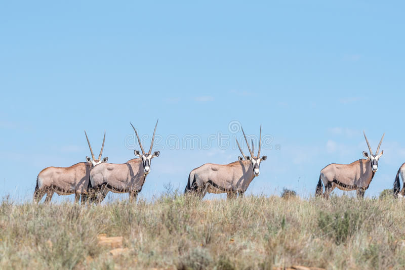 Oryx herd in the Mountain Zebra National Park. A herd of oryx or gemsbok, Oryx gazella, in the Mountain Zebra National Park near Cradock in South Africa royalty free stock image