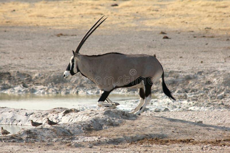 Oryx het Drinken stock foto's