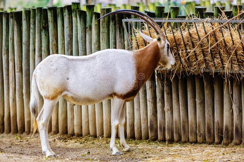 oryx--jeść zdjęcie royalty free