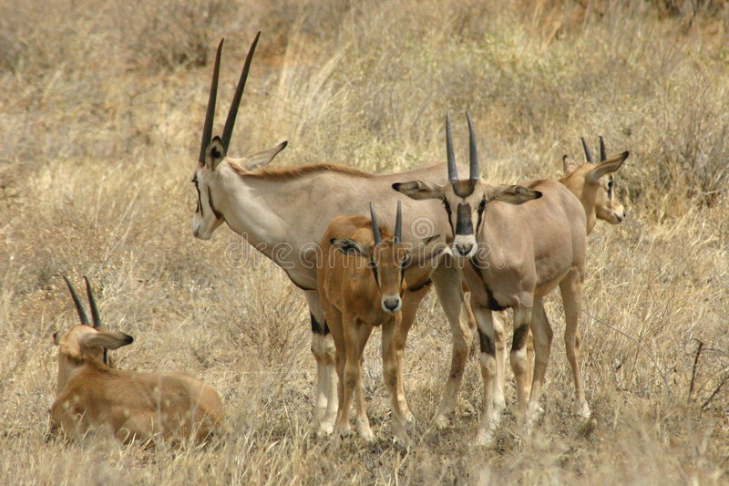 Oryx in Kenya stock photography