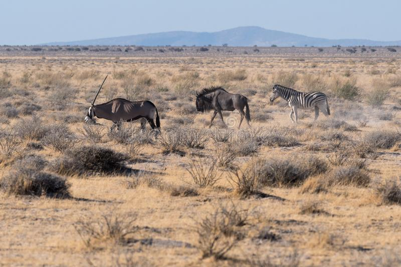 An oryx leads a wildebeest and zebra in Etosha N.P. An oryx Oryx gazella leads a blue wildebeest Connochaetes and zebra Equus quagga across the desert in Etosha stock photography