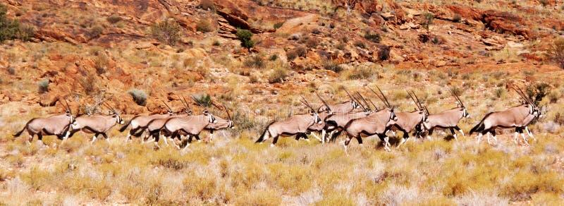 Oryx lub Gemsbok w harmonii zdjęcia royalty free