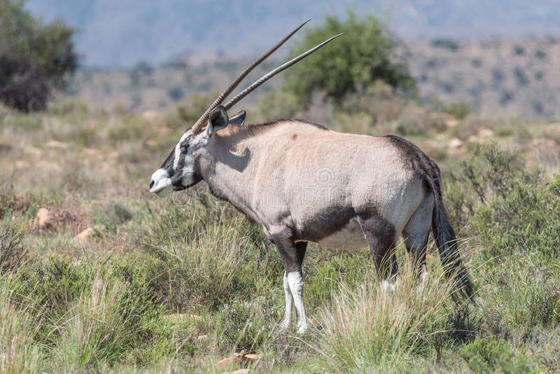 Oryx in the Mountain Zebra National Park. An oryx, Oryx gazella, in the Mountain Zebra National Park near Cradock in South Africa stock image