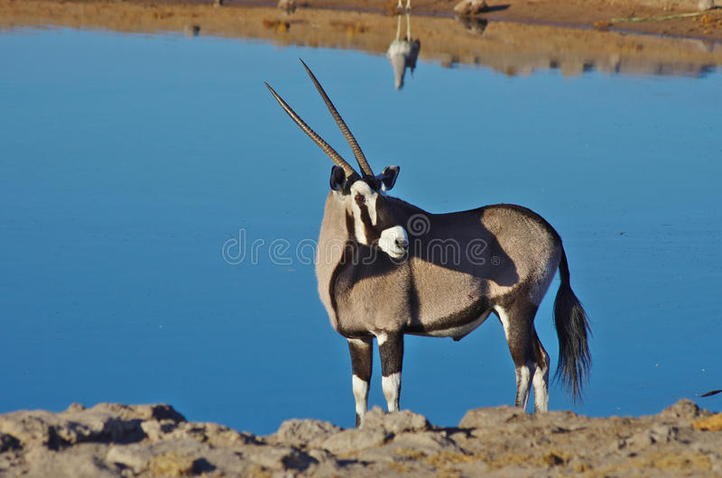 Oryx. In Namibia, water in the background stock image