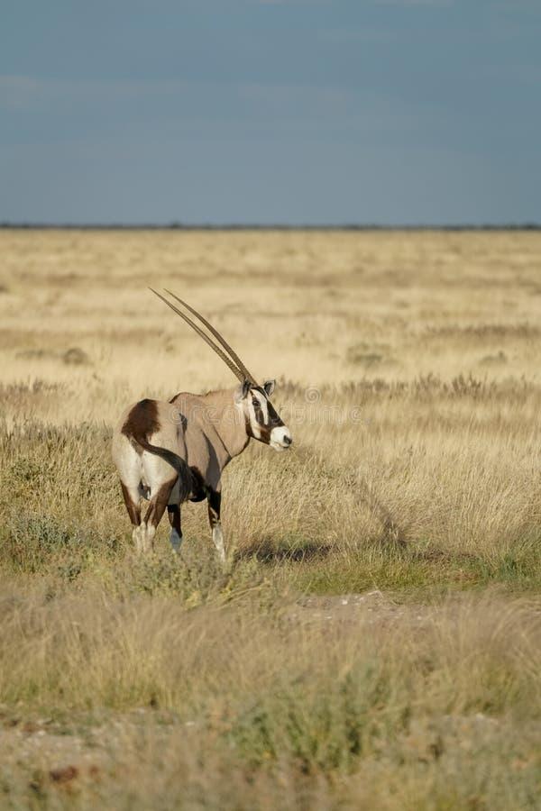 Oryx in Namibian landscape. Oryx in Namibian golden grassland landscape in Etosha National Park stock photo