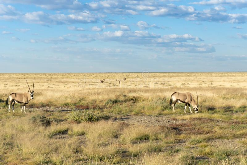 Oryx in Namibian landscape. Oryx in Namibian golden landscape under blue sky with clouds in Etosha National Park royalty free stock photos