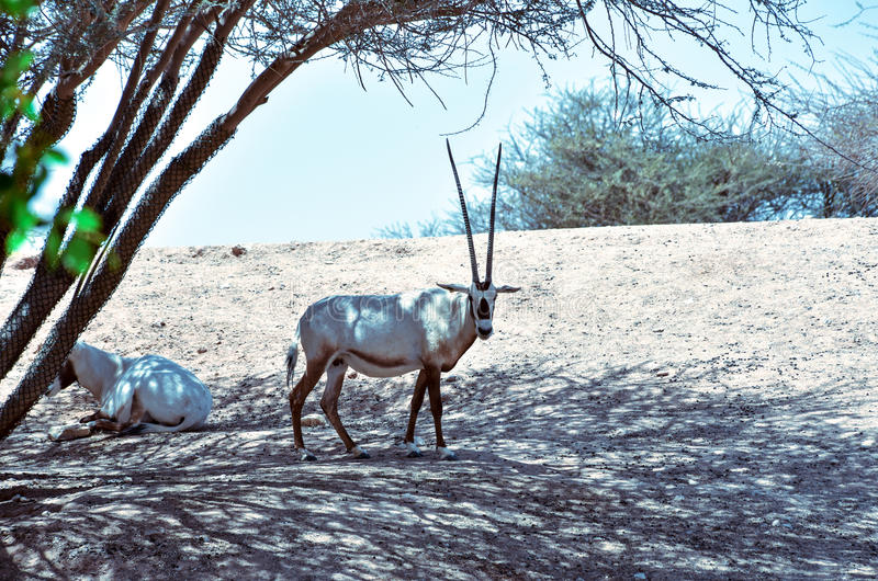 Oryx stock photography