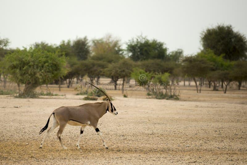 Oryx royalty free stock photo