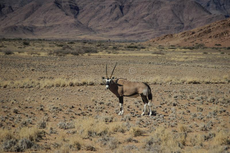 Oryx o ant?lope con los cuernos largos en el desierto de Namib, Namibia imagenes de archivo
