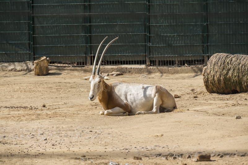 Oryx odpoczywa pokojowo pod słońcem zdjęcie stock