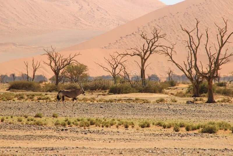 Oryx ou antilope avec de longs klaxons dans le désert de Namib, Namibie photographie stock libre de droits