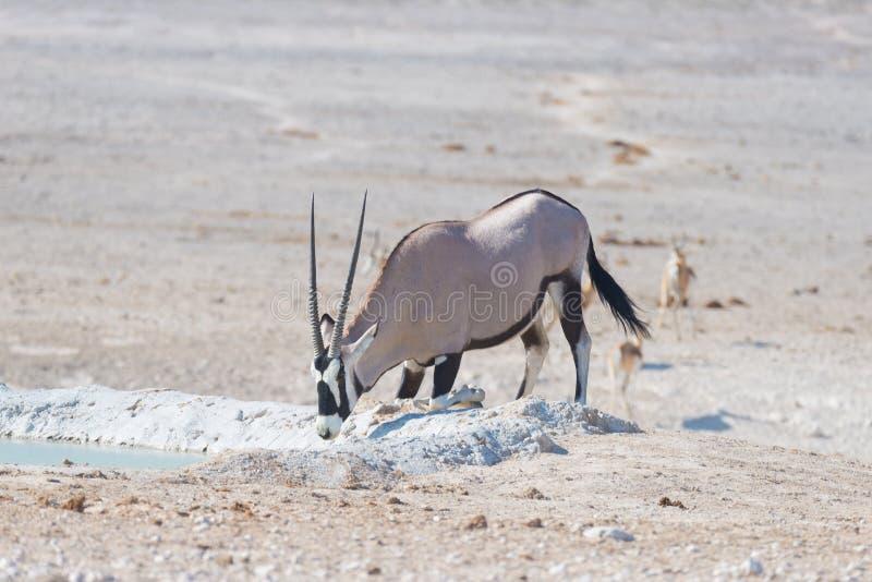 Oryx que se arrodilla y que bebe de waterhole en luz del día Safari en el parque nacional de Etosha, el destino principal de la f fotografía de archivo libre de regalías