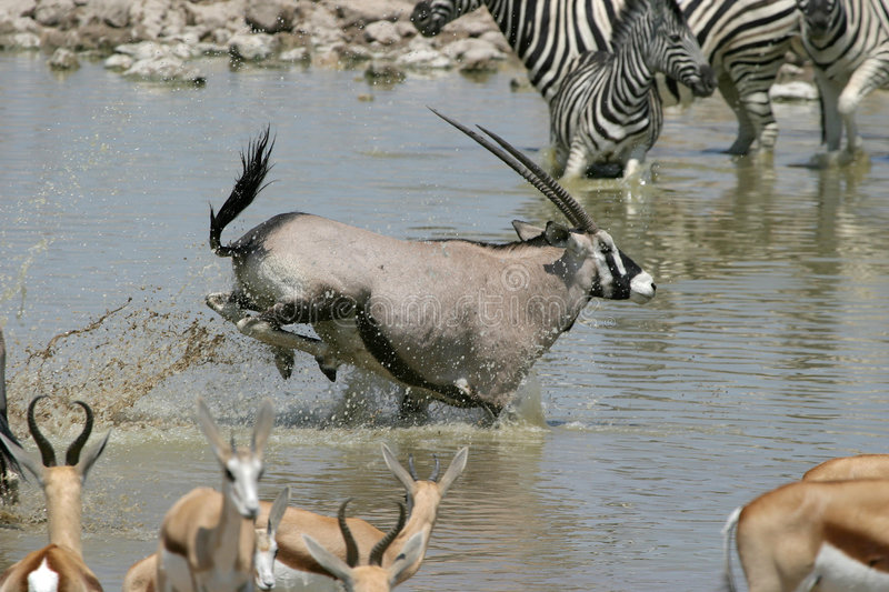 Oryx running. Through waterhole, Namibia royalty free stock photography