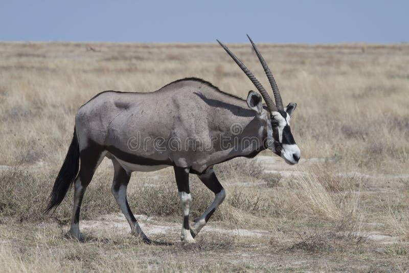 Oryx in savanna. Namibian Oryx antelope with long horns in the dry savanna of Etosha National Park, Namibia, Africa stock photo