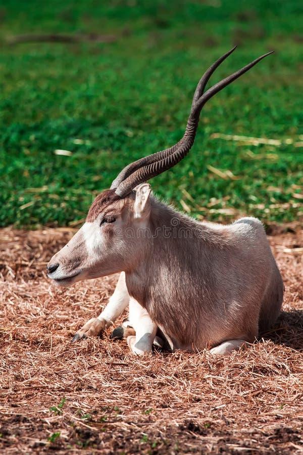 Download Oryx stock image. Image of kgalagadi, arabian, gazella - 33299281