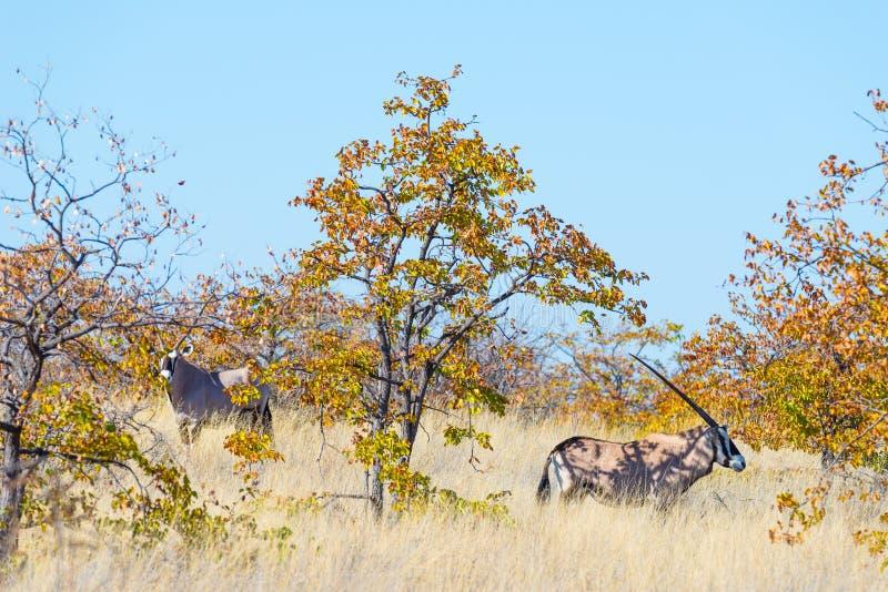 Oryx se cachant dans le buisson Safari de faune en parc national de Mapungubwe, destination de voyage en Afrique du Sud images stock