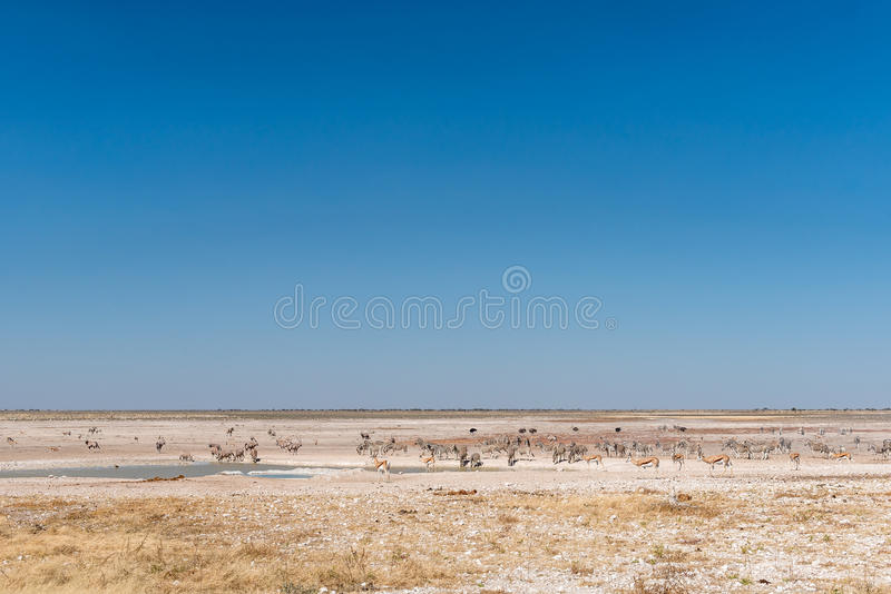 Oryx, springbok, ostrich and Burchells zebras at a waterhole. In Northern Namibia royalty free stock photography