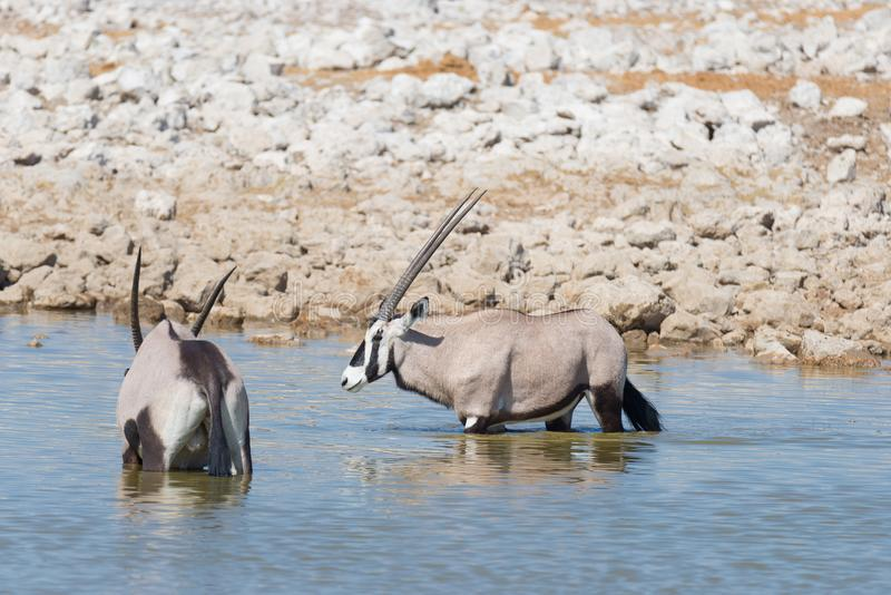 Oryx standing in the african savannah, the majestic Etosha National Park, best travel destination in Namibia, Africa. Oryx standing in the african savannah, the royalty free stock photos