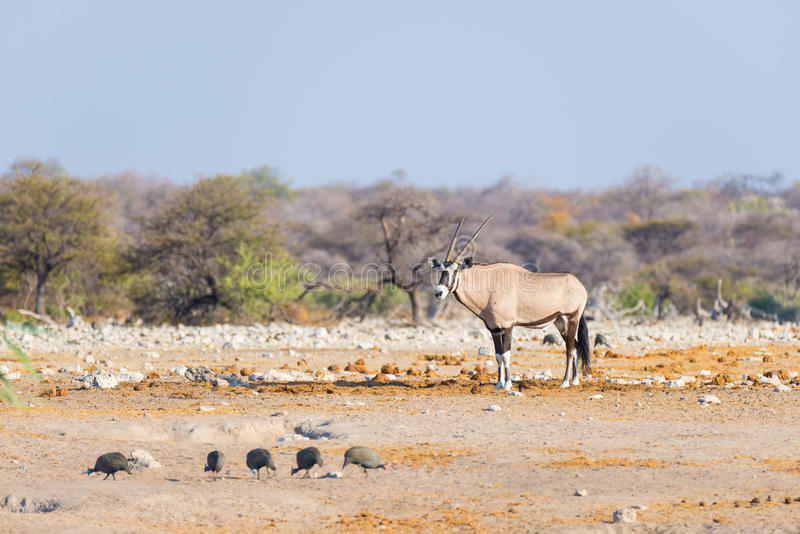 Oryx standing in the colorful landscape of the majestic Etosha National Park, best travel destination in Namibia, Africa. stock image